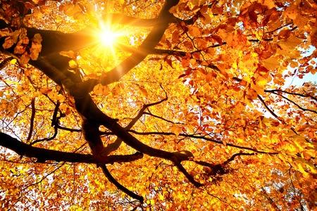 温かみのあるブナの木の金の葉を通して輝く太陽と秋の風景 写真素材