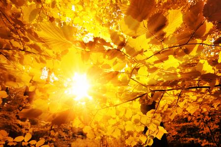 dode bladeren: De felle zon prachtig schijnt door de gouden bladeren van de beuken in een bos