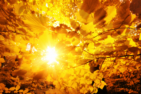 The bright sun beautifully shining through the gold leaves of beech trees in a forest