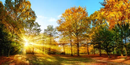 landscape: Scenic autumn panorama with the sun shining through the gold foliage and illumining the forest landscape