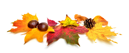 conkers: Arrangement of autumn leaves, chestnuts and a fir cone, studio isolated on white background Stock Photo