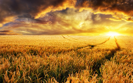 dramatic sunrise: Dreamy sunset on a gold wheat field with tracks leading to the sun, focus on the foreground plants Stock Photo