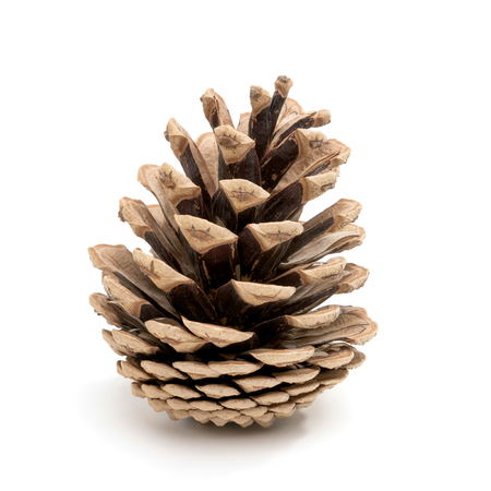 Perfect pine cone studio shot, isolated on white Stock Photo