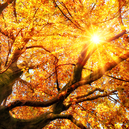 beech leaf: The autumn sun beautifully shining through the branches of a beech tree in vivid gold color