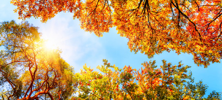 The warm autumn sun shining through golden treetops, with beautiful bright blue sky Stock Photo