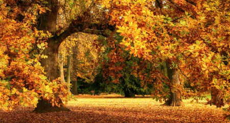 Tranquilo paisaje de otoño que muestra un árbol de roble magnífico, con hojas de colores en un parque, con una luz suave, de gran formato Foto de archivo