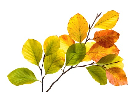 Twigs with colorful leaves of a beech tree,  studio isolated on pure white Stockfoto