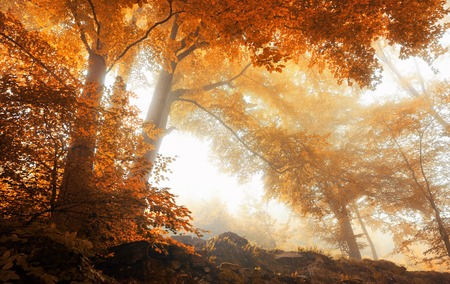 Beech trees in a scenic misty forest in autumn, with soft light and warm vibrant colors Stockfoto
