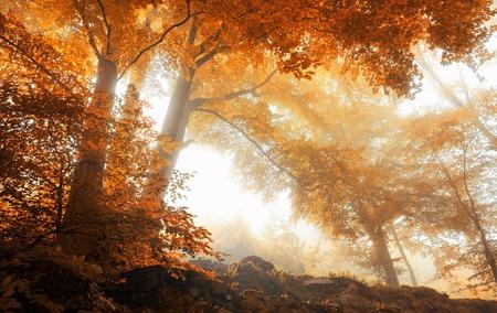 naranja arbol: Árboles de haya en un bosque de niebla escénica en otoño, con luz suave y cálidos colores vibrantes Foto de archivo