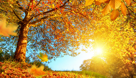 fall scenery: Golden autumn scenery with a nice tree, falling leaves, clear blue sky and the sun shining warmly Stock Photo