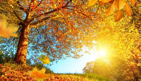 słońce: Złota jesień krajobrazy z ładnym drzewa, spadające liście, jasne, błękitne niebo i słońce świeci ciepło