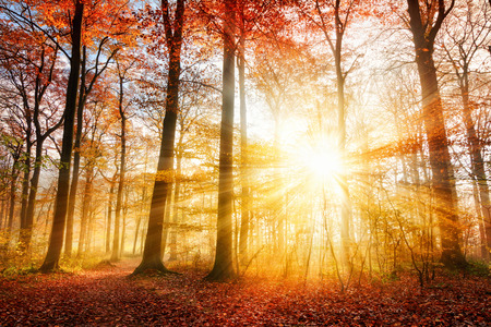 red sun: Warm autumn scenery in a forest, with the sun casting beautiful rays of light through the mist and trees