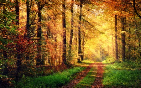 Autumn forest scenery with rays of warm light illumining the gold foliage and a footpath leading into the scene