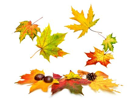 falling down: Colorful autumn maple leaves beautifully falling down, studio isolated on white background Stock Photo
