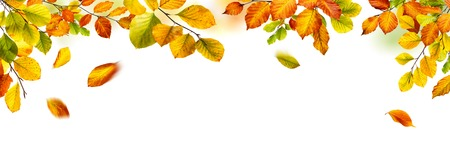Colorful autumn beech leaves border, studio isolated on pure white background, wide panorama format Foto de archivo