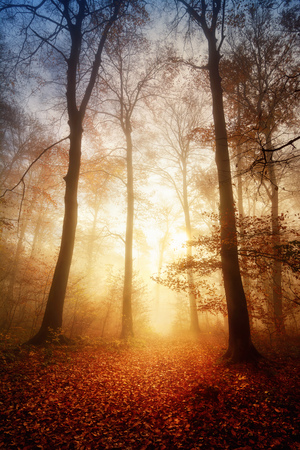 autumn path: Fascinating light in a foggy forest in autumn or winter, with bare trees and the ground warmly illuminated Stock Photo
