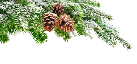 Fir branch and cones in fresh green, lightly covered in snow, with pure white copyspace background Standard-Bild