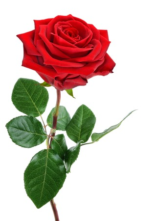 mothersday: Fully blossomed, perfect red rose with stem and leaves, studio isolated on pure white background Stock Photo