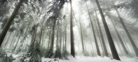 fog white: Snow covered forest with magical light in winter, white light rays falling through the fog