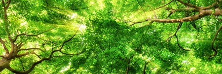Sunrays shining through green leaves of high treetops in a beech forest, panorama format