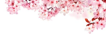 Dromerige kersenbloesems als een natuurlijke grens, studio geïsoleerd op zuivere witte achtergrond, panorama-formaat Stockfoto