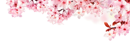 Dreamy cherry blossoms as a natural border, studio isolated on pure white background, panorama format