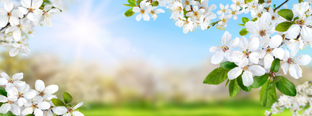 Nature composite showing a spring paradise with white blossoms, the sun and bright blue sky, panorama format Imagens