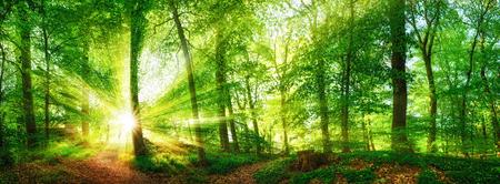 Buk lesní panorama a slunce, s jasnými paprsky světla krásně svítí skrz stromy