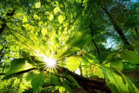 Rays of sunlight beautifully shining through the green leaves of a beech tree just above the forest ground Фото со стока