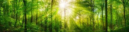 Panorama de un bosque escénica de árboles de hoja caduca verdes frescas con el bastidor del sol sus rayos de luz a través del follaje
