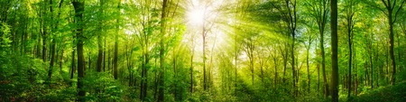Panorama of a scenic forest of fresh green deciduous trees with the sun casting its rays of light through the foliage 版權商用圖片