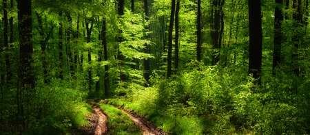 leading light: Dreamy scenery in the forest with a path leading through lush green trees in beautiful light