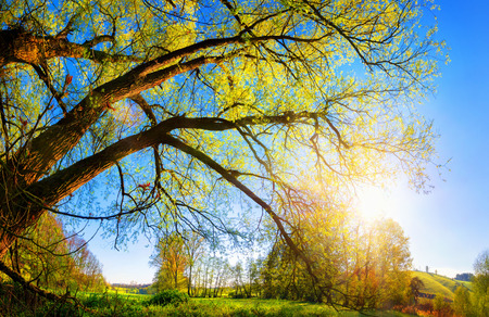 sky sun: Rural landscape with the morning sun shining through a beautiful old willow tree, blue sky in the background