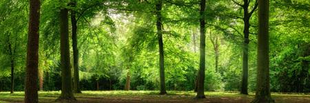 Verse groene bomen in een beukenbos met dromerig zacht licht, panorama formaat