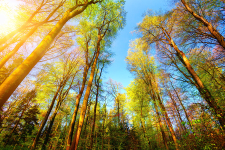 colourful sky: Forest scenery with the sun illuminating the colourful tall treetops and clear blue sky