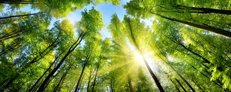 森林の伐採で背の高いブナの緑の梢を美しく照らす太陽、パノラマ ショット