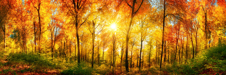 Autumn scenery in panorama format: a forest in vibrant warm colors with the sun shining through the leaves