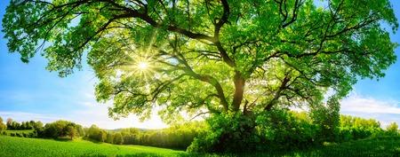 El sol brilla a través de un árbol de roble verde majestuoso en un prado, con cielo azul claro en el fondo, formato panorámico