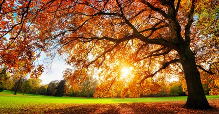 Beautiful oak tree on a lawn with the setting autumn sun shining warmly through its leaves Banco de Imagens - 64969035