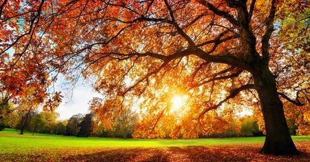 Hermoso árbol de roble en un césped con la puesta del sol del otoño brilla con gusto a través de sus hojas