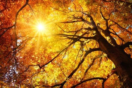 壮大な金のブナの木、ワームの目のビューの葉を通して暖かく輝く秋の太陽