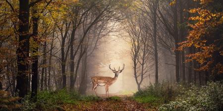 Damhirsch steht in einem verträumten Nebelwald, mit schönem, launischem Licht in der Mitte und umrahmt von dunklen Bäumen