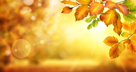 nature of sunlight: Autumn beech leaves decorate a beautiful nature bokeh background with glowing sunlight and blurred trees