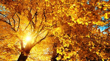 shining through: Autumn sun beautifully shining through the yellow leaves of a beech tree Stock Photo