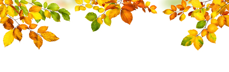 Elegant autumn beech leaves border, studio isolated on pure white background, wide panorama format Stock Photo