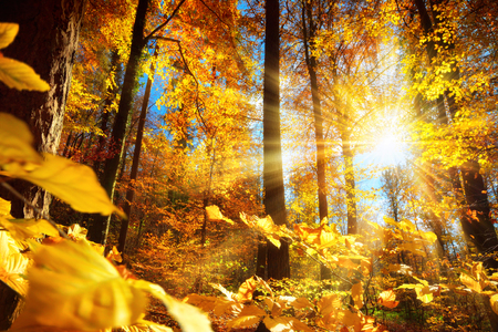 Gorgeous autumn scenery in a forest, with the sun casting beautiful rays of light through the yellow foliage
