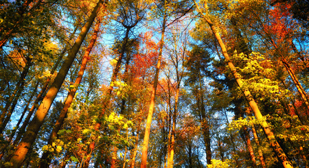 Autumn forest scenery with colourful tall treetops in front of the clear blue sky Stock Photo