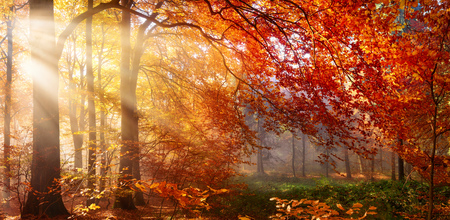 Autumn in the forest, sunrays fall through mist and a beautiful red tree