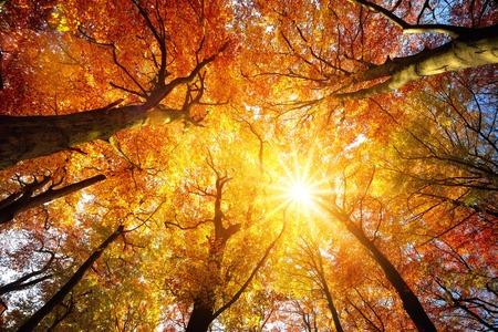 Herfstzon die warm door de luifel van beukbomen met gouden gebladerte, het gezichtsveld van het wormblik glanst Stockfoto