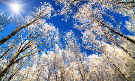 Winter wonderland with snow white treetops against the deep blue sky and the sun, worms eye view
